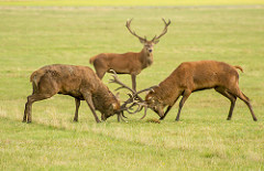 stags fighting 3 by mrT HR